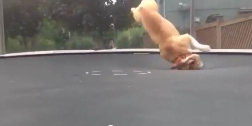 buldog-trampolina