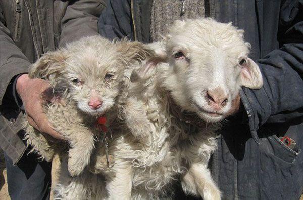ovca pas