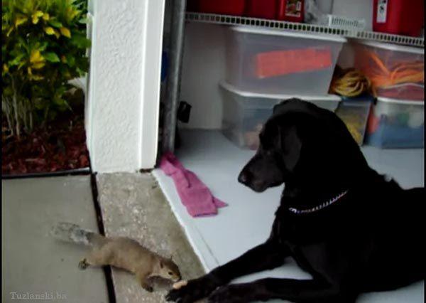 pas vjeverica