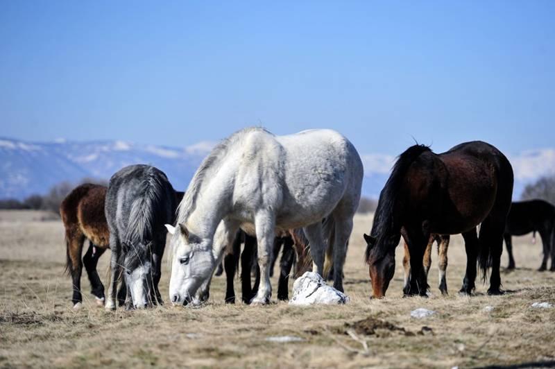 Livanjski-divlji-konji-7-1024x681