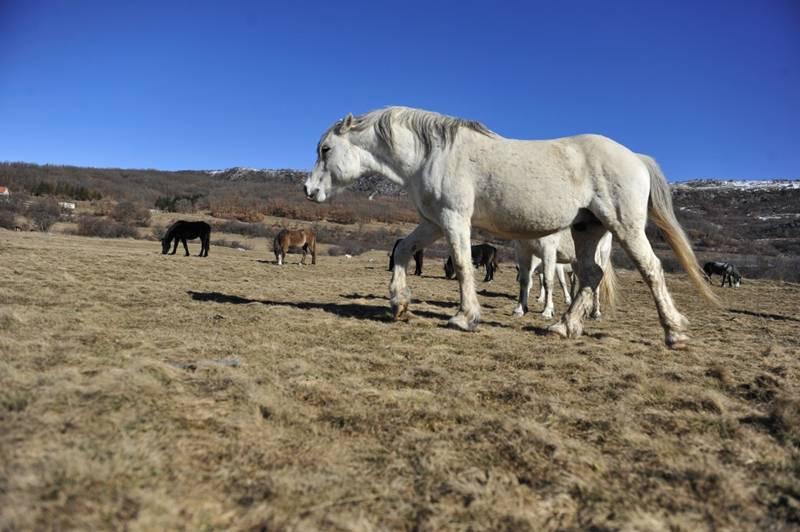 Livanjski-divlji-konji-8-1024x681