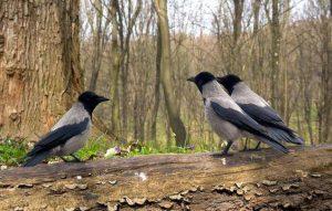 vrane2