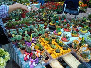 kaktusi3