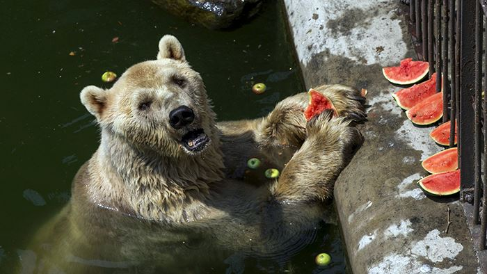 Cezar, a 32 year-old polar bear eats a watermelon in its enclosure in Belgrade's zoo