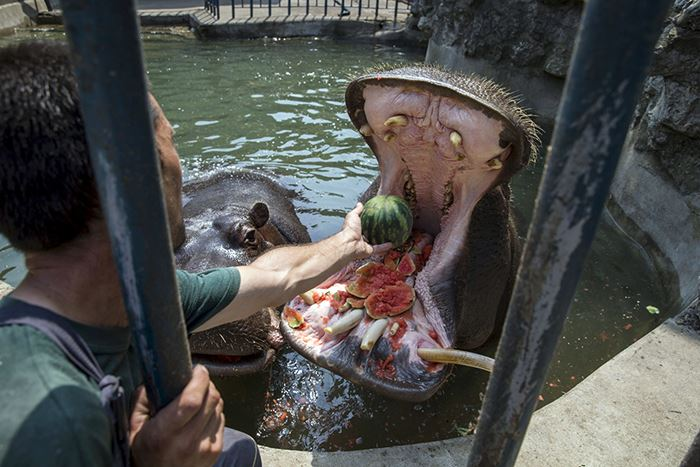 A zookeeper feeds a hippopotamus with a watermelon in its enclosure in Belgrade's zoo