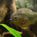 Neobične navike riba: Pirane mogu da budu vegeterijanci, mogu čak i da laju…