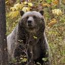 Kupres: Pozvali ministra da ih zaštiti od medvjeda