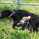 Danima na kiši: Zavezali kujicu za ogradu s tek rođenim štencima