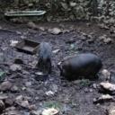 Bizaran incident razbijesnio dilere: Divlje svinje pojele kokain vrijedan 20.000 eura