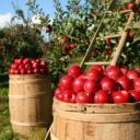 Uništili smo crvene jabuke: Uskoro će skroz nestati