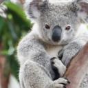 Smrtonosni požari u Australiji postaju sve gori: Uginulo najmanje 350 koala