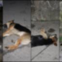 Uznemirujuće: U blizini Doma zdravlja u Srebrinici otrovano sedam pasa